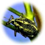 milfoil weevil