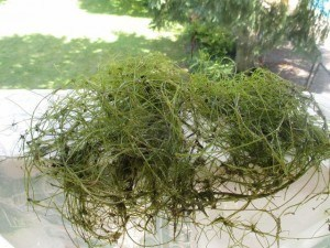 Starry stonewort, a tangled mass of alga that can grow to within 2 inches of the surface of the water and reduce fish habitat greatly.