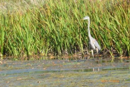 Heron in Lake Scugog